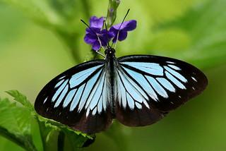 Wanderer (Pareronia boebera arsarnota)