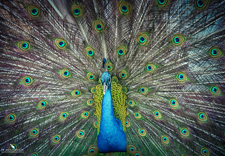 Patterns In Peacock's Feathers