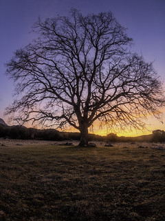 Sunrise with a big old tree without leaves. Concept of a new beginning.
