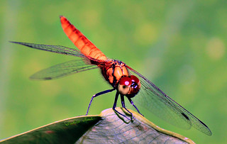 Greater crimson glider