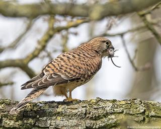 Common Kestrel, Falco tinnunculus, Trumpington Meadows, Cambridgeshire