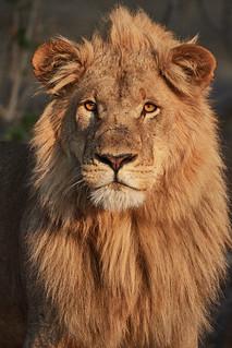 Lion at the sunrise