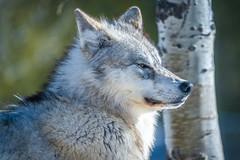 Montana Winter Wolves Sony A7R4 Montana Winter Fine Art Landscape Wildlife Grey Wolf Photography! Elliot McGucken Fine Art American West Photography! Master Grey Wolves Wolfpack Fine Art! Sony A7R 4 & Sony Gmaster FE 200-600mm F5.6-6.3 G OSS Lens
