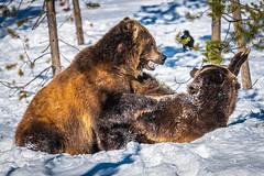 Grizzly Bears Play Fighting Wrestling! Montana Grizzly Bears Sony A7R4 Montana Winter Fine Art Landscape Wildlife Photography! Elliot McGucken Fine Art American West Photography! Master Grizzly Bear Art! Sony A7R 4 Sony FE 200-600mm f/5.6-6.3 G OSS Lens