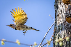 THE YELLOW SHAFTS - FLICKER IN FLIGHT