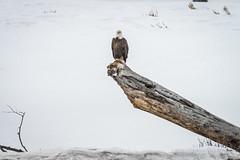 American Bald Eagle Yellowstone National Park Winter Wildlife Sony A7R4 Montana Fine Art Landscape Nature Wildlife Photography! McGucken Fine Art American West Photos! Sony A7R 4 & Sony FE 200-600mm f/5.6-6.3 G OSS Lens 1.4x Teleconverter Lens SEL14TC