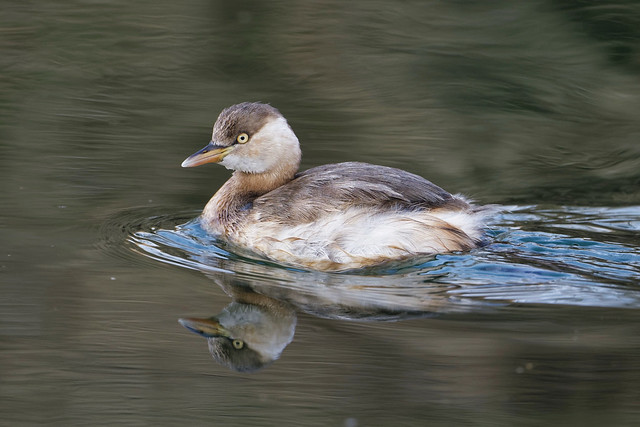 Little Grebe - Resident- common