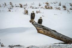 Bald Eagle Pair American Bald Eagles Yellowstone National Park Winter Wildlife Sony A7R4 Montana Fine Art Landscape Nature Wildlife Photography! Elliot McGucken Sony A7R 4 & Sony FE 200-600mm f/5.6-6.3 G OSS Lens 1.4x Teleconverter Lens SEL14TC