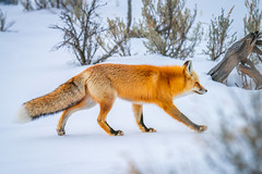 Red Fox Hunting Yellowstone National Park Winter Wildlife Sony A7R4 Montana Fine Art Landscape Nature Wildlife Photography! Elliot McGucken Fine Art American West Photos! Sony A7R 4 & Sony FE 200-600mm f/5.6-6.3 G OSS Lens 1.4x Teleconverter Lens SEL14TC
