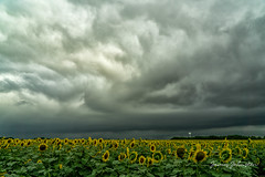 Sunflowers in Whitewright, Texas