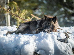 Wolves Play Fighting West Yellowstone! Montana Wolves Grey Wolf Wolfpack Fuji GFX100 Winter Fine Art Landscape Wildlife Photography! Elliot McGucken Fine Art West Photography! Fujifilm GFX 100 & Fujinon FUJIFILM GF 250mm f/4 R LM OIS WR Lens!