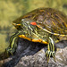 Turtle - Red Eared Slider