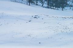 Wolfpack Playing Yellowstone National Park Winter Wildlife Sony A7R4 Montana Fine Art Landscape Nature Wildlife Photography! Elliot McGucken Fine Art American West Photos! Sony A7R 4 & Sony FE 200-600mm f/5.6-6.3 G OSS Lens 1.4x Teleconverter Lens SEL14TC