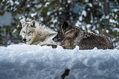Montana Winter Wolves Sony A7R4 Montana Winter Fine Art Landscape Wildlife Grey Wolf Photography! Elliot McGucken Fine Art American West Photography! Master Grey Wolves Wolfpack Fine Art! Sony A7R 4 & Sony Gmaster G OSS Lens
