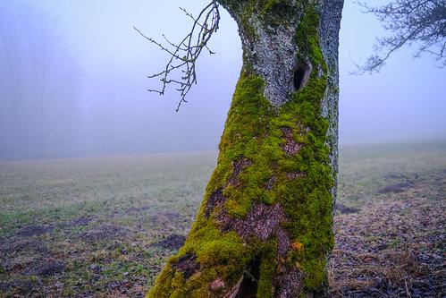 Moos-Baum am Schlossberg
