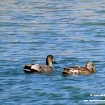 Aves en las lagunas de La Guardia (Toledo) 13-3-2021