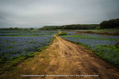 Texas Bluebonnets and Other Wildflowers