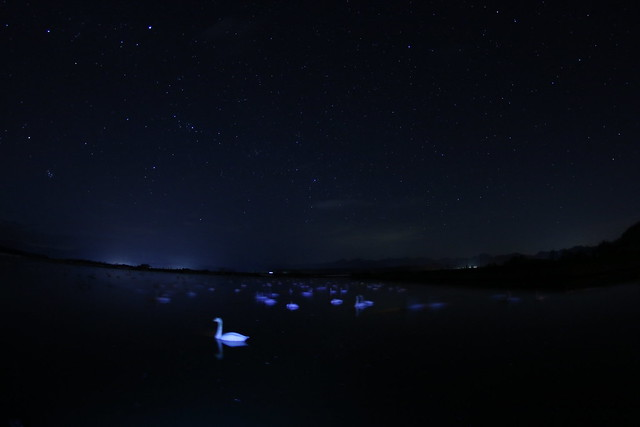 Photo:Swans in star lights By ngcurly