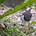 Amaurornis phoenicurus 白腹秧雞