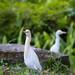 Bubulcus ibis 黃頭鷺