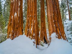 General Grant's Grove Giant Sequoia Trees Kings Canyon National Park Fuji GFX100 Fine Art California Landscape Nature Photography! Kings Canyon & Sequoia National Park Elliot McGucken Fine Art Fujifilm GFX100 Photography