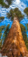 General Sherman Giant Sequoia Tree Vertical Panorama! Giant Sequoia Trees Sequoia Kings Canyon National Park Fuji GFX100 Fine Art California Landscape Nature Photography! Kings Canyon & Sequoia National Park Elliot McGucken Fine Art Fujifilm GFX100 Photos