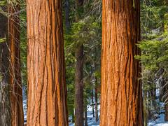 General Grant's Grove Giant Sequoia Trees Kings Canyon National Park Fuji GFX100 Fine Art California Landscape Nature Photography! Kings Canyon & Sequoia National Park Elliot McGucken Fine Art Fujifilm GFX100 Photography !