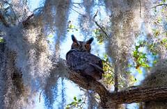 Great Horned Owl stinkeye from Dad