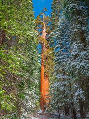 General Grant Giant Sequoia Tree! Grant's Grove Giant Sequoia Trees Kings Canyon National Park Fuji GFX100 Fine Art California Landscape Nature Photography! Kings Canyon & Sequoia National Park Elliot McGucken Fine Art Fujifilm GFX100 Photography!