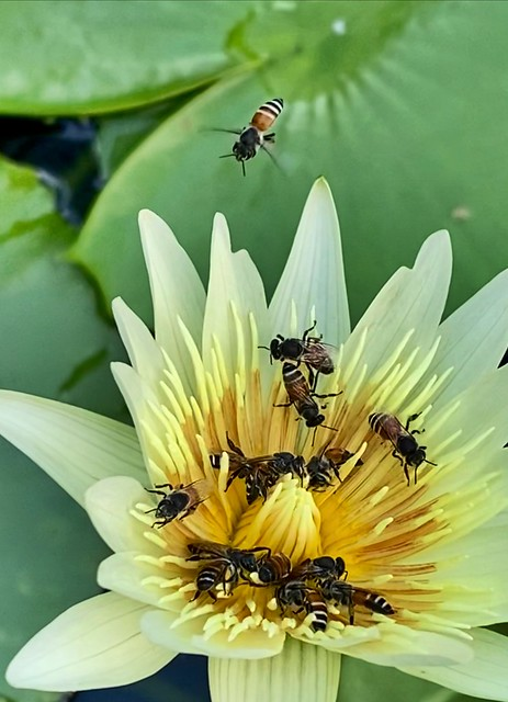 Bees �� buzzing on the lotus