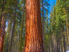 General Sherman Trail Giant Sequoias! Giant Sequoia Trees Sequoia Kings Canyon National Park Fuji GFX100 Fine Art California Landscape Nature Photography! Kings Canyon & Sequoia National Park Elliot McGucken Fine Art Fujifilm GFX100 Photography !
