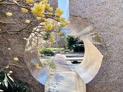 paper bush blossoms at the Moongate