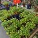 這次採買花市觀葉植物不優,沒有找到我要的,所以沒有購買竹芋與彩葉芋。