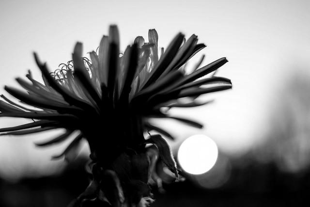 Dent-de-lion sous le soleil couchant