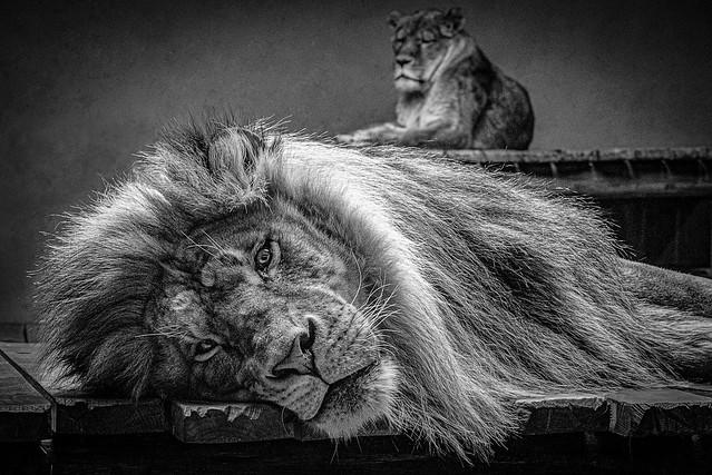 Le kief d'un lion