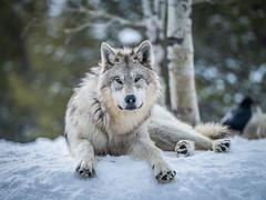 Montana Wolves Grey Wolf Wolfpack Fuji GFX100 Montana Winter Fine Art Landscape Wildlife Photography! Elliot McGucken Fine Art American West Photography! Fujifilm GFX 100 & Fujinon FUJIFILM GF 250mm f/4 R LM OIS WR Lens