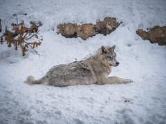Montana Wolves Grey Wolf Wolfpack Fuji GFX100 Montana Winter Fine Art Landscape Wildlife Photography! Elliot McGucken Fine Art American West Photography! Fujifilm GFX 100 & Fujinon FUJIFILM GF OIS WR Lens