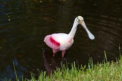 Roseate Spoonbill - Gulfport, FL