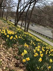Daffodils in bloom, Rose Park above Rock Creek Parkway, Washington, D.C.