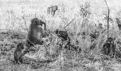 African wildlife mono