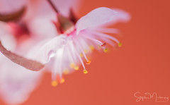 Cherry/Apple Blossom