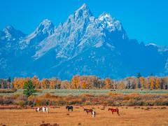 Wild Horses Grand Tetons National Park Autumn Colors Wyoming Aspens Fall Foliage Fuji GFX100 Fine Art Landscape Nature Photography! Elliot McGucken Master Medium Format Fine Art American West Photography! Fujifilm GFX 100 & Fujinon FUJIFILM GF Lens