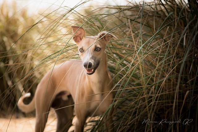 Photo:Whippet beauty By Miriam Rossignoli