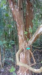 Chilean myrtle