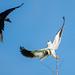 Crow vs Kite