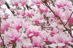Magnolias at John Marshall Park