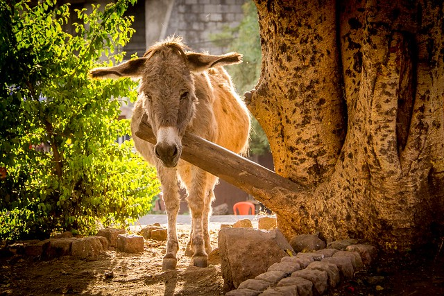 L'âne qui attend son maitre