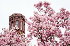 Smithsonian Castle Tower & Magnolias