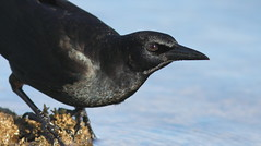 Boat-tailed Grackle- Hudson Beach