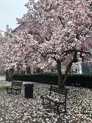 Pink magnolia petals everywhere, Edward R. Murrow Park, Washington, D.C.